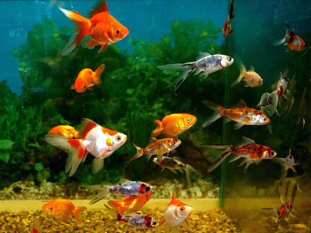 разведение декоративных рыбок
