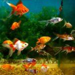 Как заработать на разведение декоративных рыбок